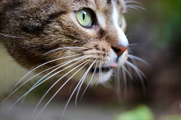 У кошки выпадают усы: что делать и нужно ли волноваться