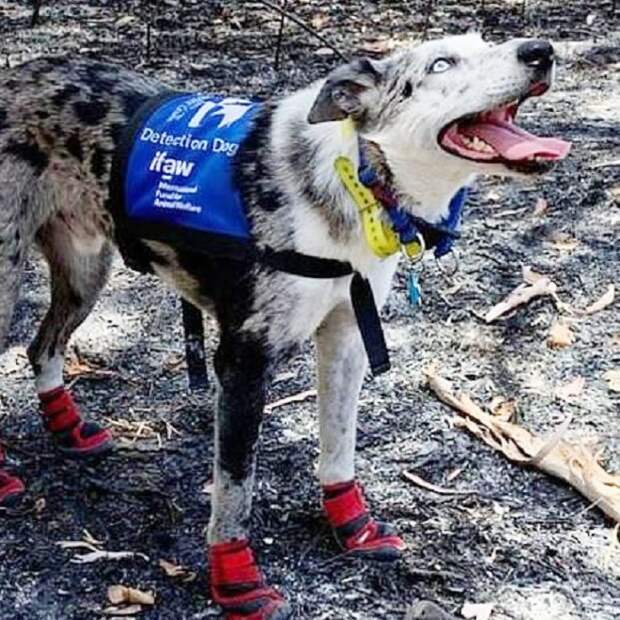 Лесные пожары стали угрозой для коал, но смышленый пес со специальными навыками, участвует в их спасении