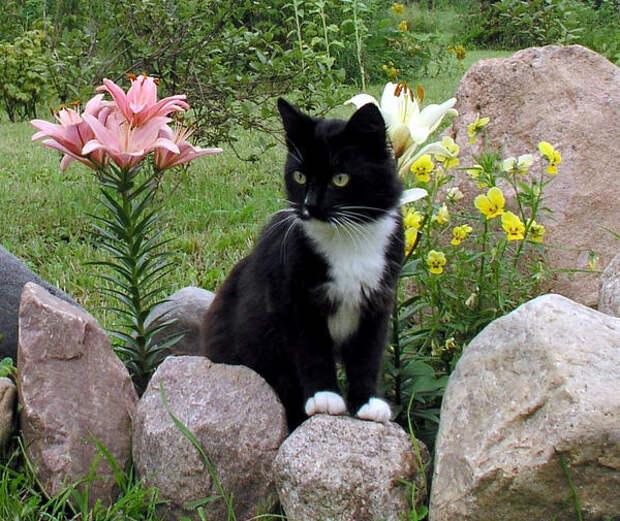 Кошки отлично сочетаются с лилиями