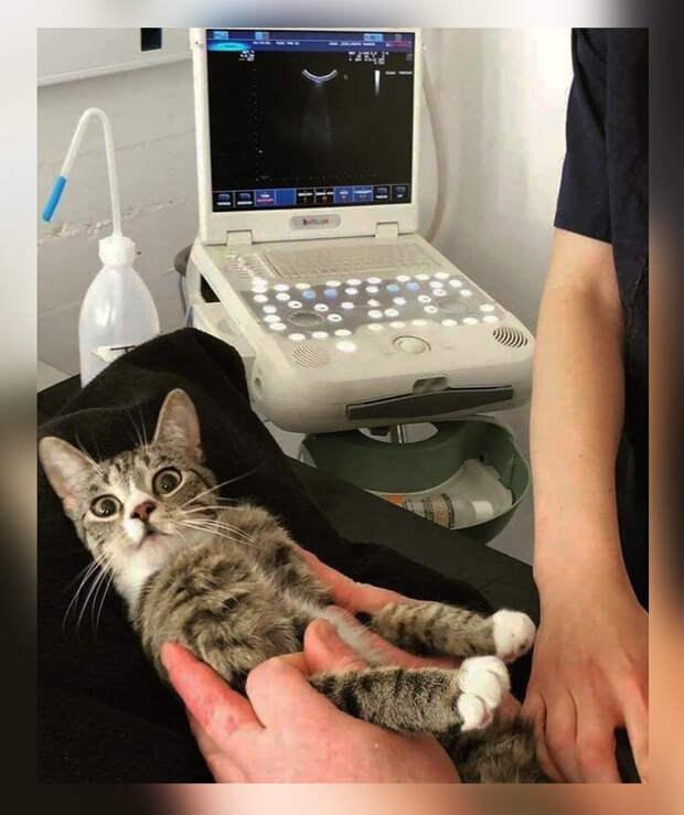 Беременную кошку принесли на УЗИ, на котором она впервые увидела своих детишек. Эмоции кошки великолепны