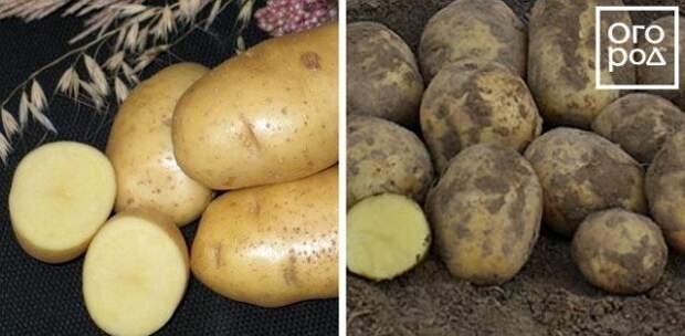 Картофель Ариэль