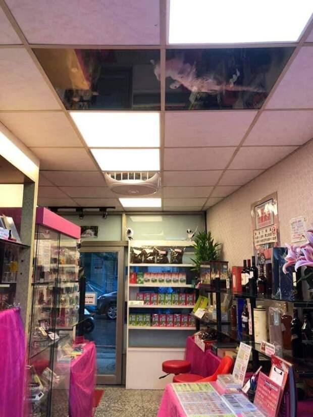 Котам, которые жили на чердаке магазина, хозяин сделал стеклянный потолок. Теперь это надежная система котонаблюдения