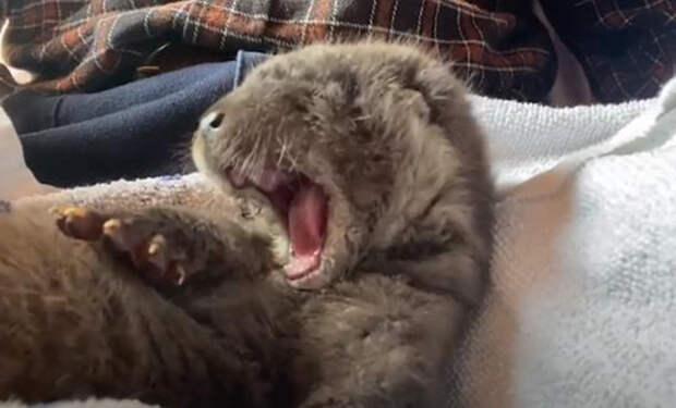 Шотландец подобрал на дороге котенка, а уже дома увидел его странные лапы и понял, что принес выдру