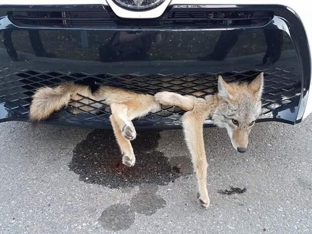 Машина сбила койота, но тот оказался очень везучим и почти не пострадал животные, зверь, койот, машина