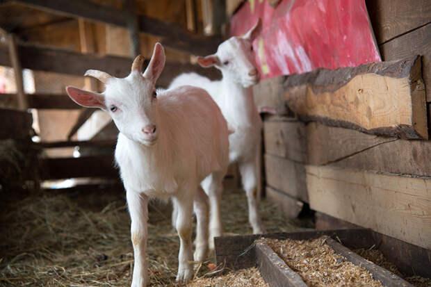 В Приморье трёхлетняя девочка жила на ферме среди коров и коз