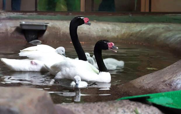 В Московском зоопарке родились птенцы редкого лебедя