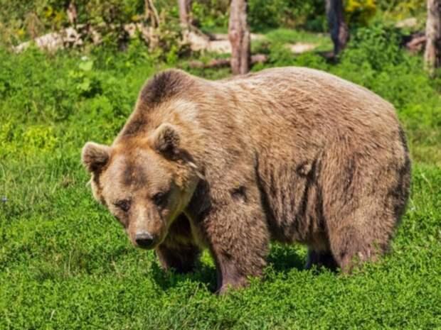 В Мытищах ловят медведя, сбежавшего из частного гольф-клуба