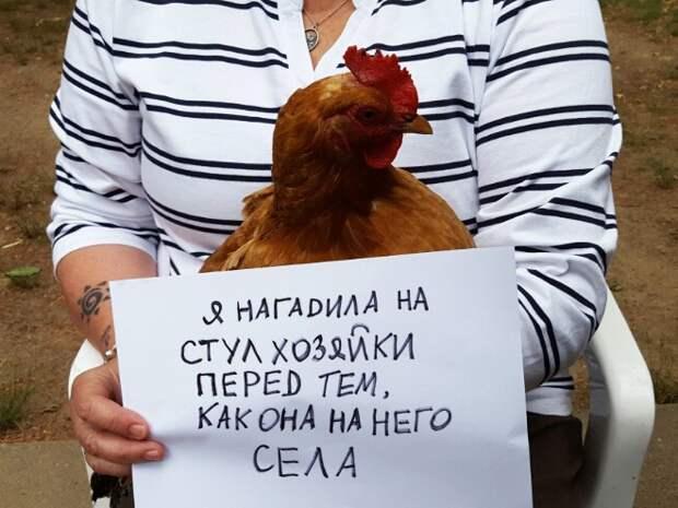 15 провинившихся куриц, которым очень стыдно за свои деяния