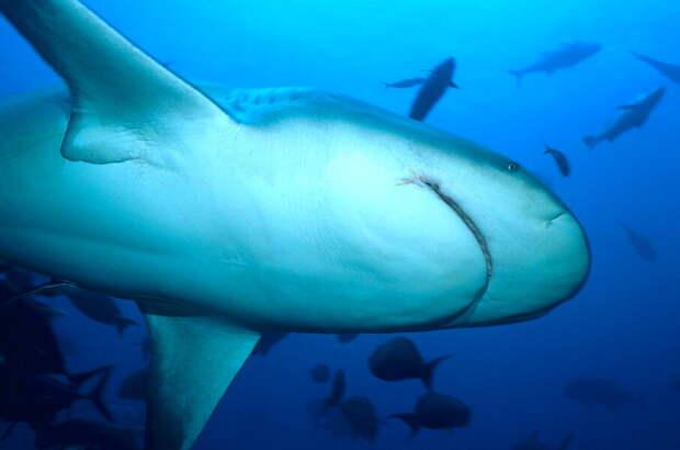 Акула-бык - одна из самых опасных для человека акул