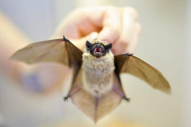 Учёные из Щукина обнаружили у летучих мышей в Сочи новые коронавирусы