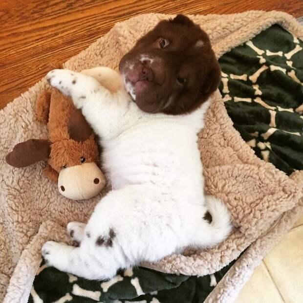 Шарпей по имено Бо: невероятно милый медвежонок