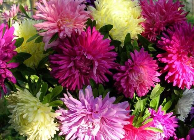 Астры — самые красивые осенние цветы