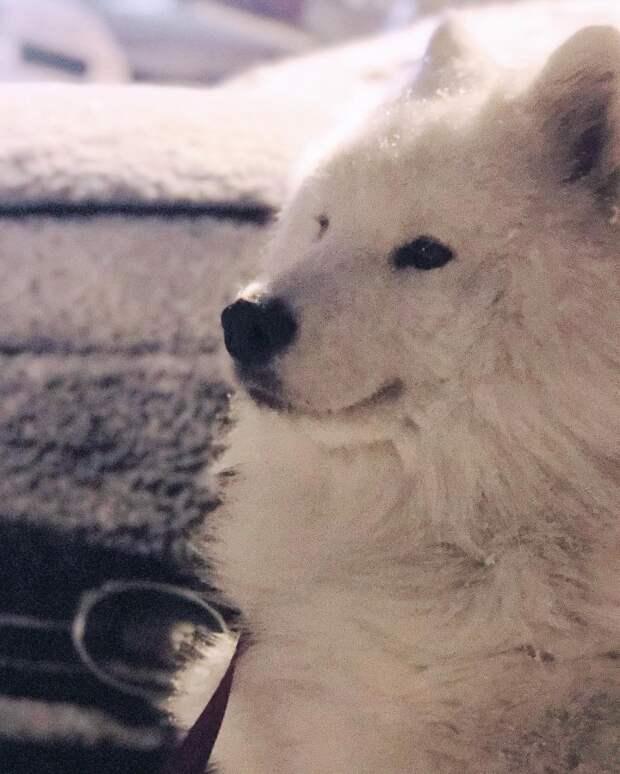 Самоед Йоши обязательно заставит вас хотеть себе собаку такой породы арктический шпиц, белая собака, порода, самоед