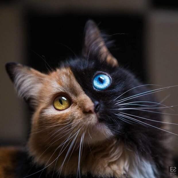 8 удивительных фото двуликой кошки Венеры