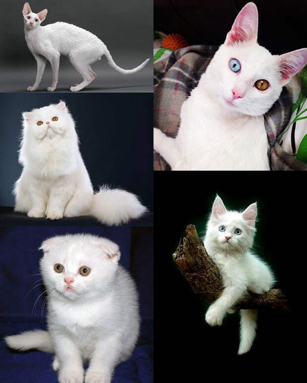 https://www.pitomec.ru/upload/admin/images/article/2017/white-cats.jpg