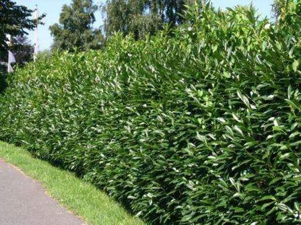 Лавровишня Это кустарник, который является вечнозеленым