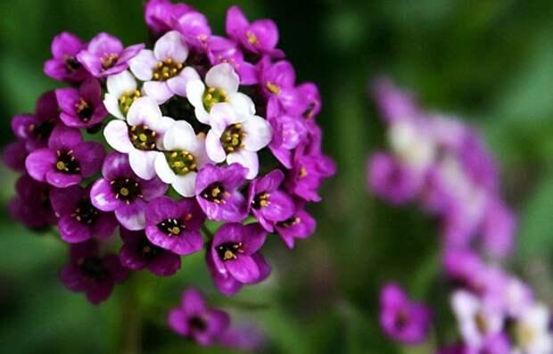Лобулярия формируется в прелестные кустики / Фото: trizio.ru
