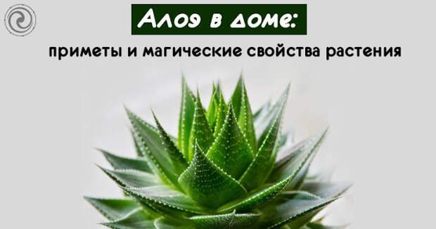 Алоэ в доме: приметы и магические свойства растения