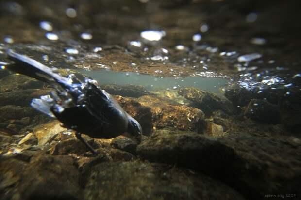 Для того, чтобы удерживать тело под водой, птица расправляет крылья. Так вода прижимает птаху ко дну и оляпка может с лёгкостью по нему бегать.