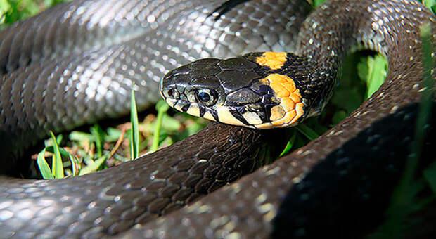 Змеи: как отличить ядовитую от безобидной