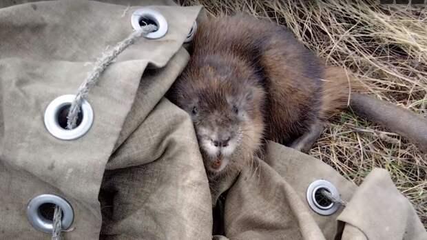 Житель Екатеринбурга спас попавшую в яму ондатру