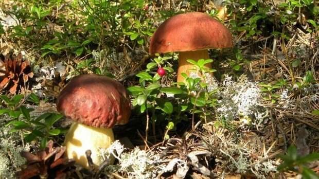 белые грибы виды