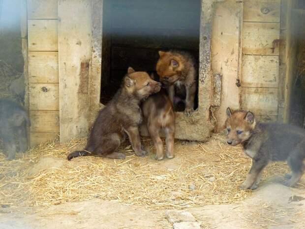 Большереченский зоопарк опубликовал видео с новорожденными волчатами