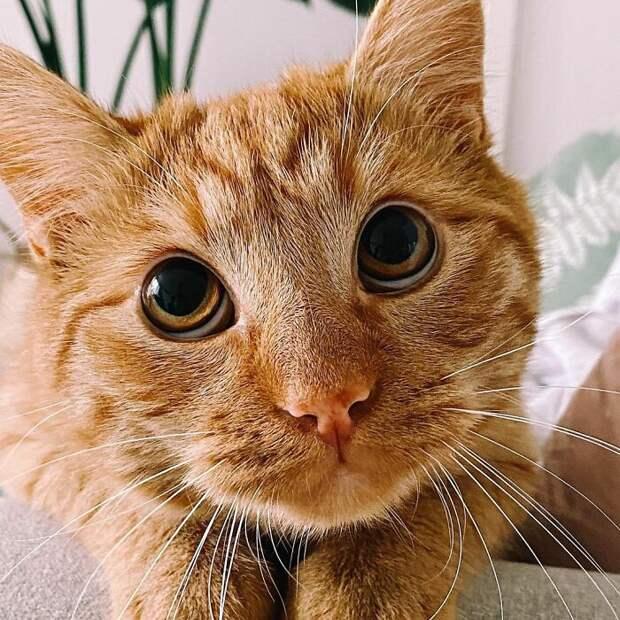 Он существует на самом деле — кот-в-сапогах из «Шрека» с огромными глазами!