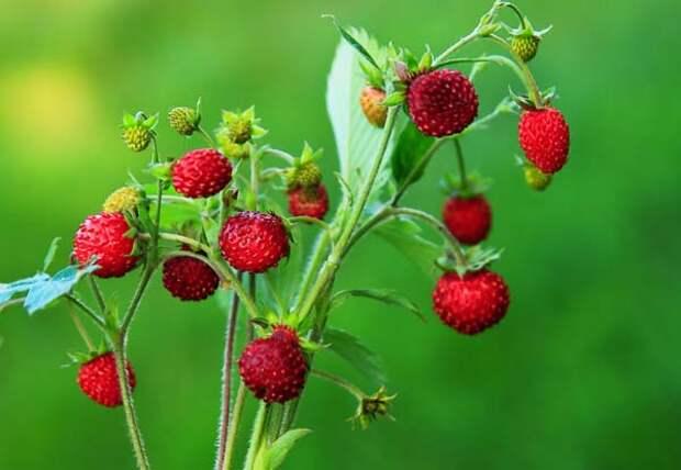 Названия лесных ягод