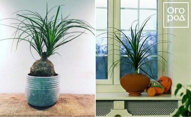 Нолина, цветок, комнатное растение