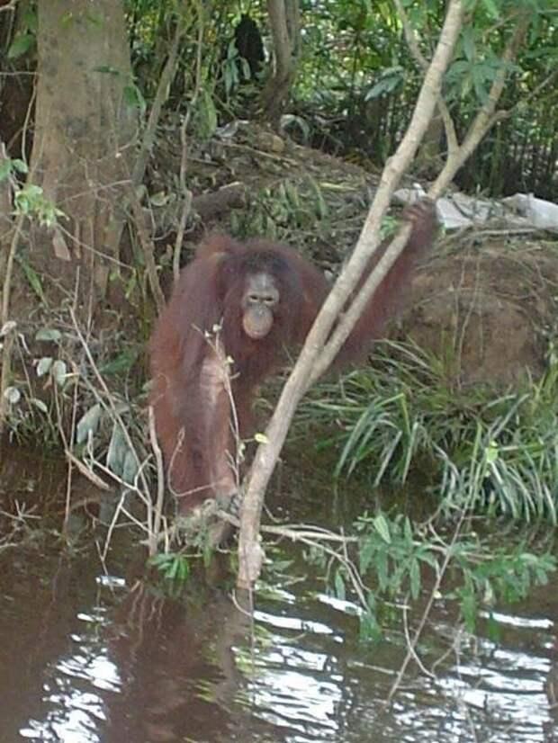 Самка орангутана, спасенная из борделя, научилась вновь доверять людям Борнео, бордель, животные, издевательство над животным, обезьяны, орангутан, сексуальная эксплуатация, спасение орангутана
