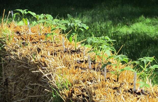 Как получить большой урожай на... соломе