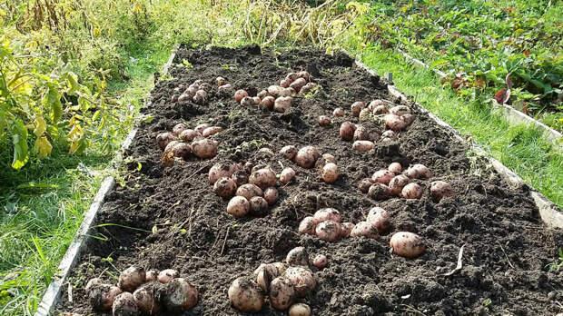 Картофель. Посадка клубнями у себя на даче. Получаем богатый урожай. Секреты опытного агронома