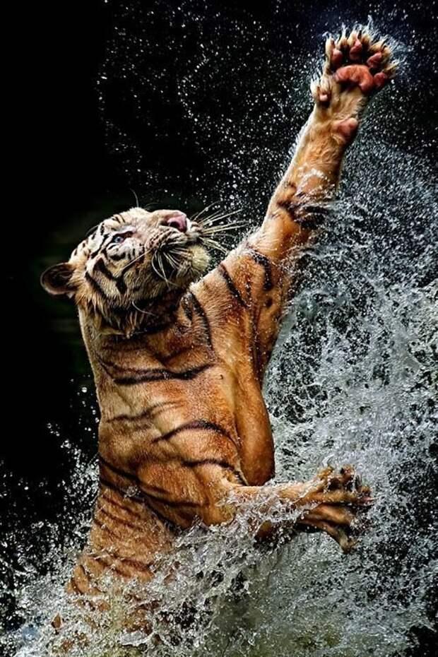 Киски - большие и маленькие - невероятно гразицозны животные, красота, полет, природа, прыжок, удживительное