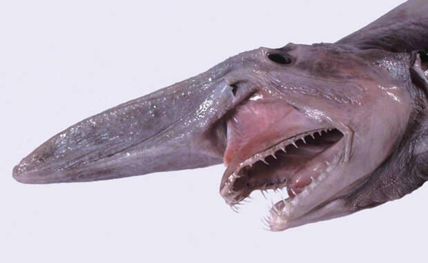 Акула-гоблин Самая уродливая акула в списке. Три метра в длину, острые и загнутые, как рыболовные крючки, зубы — в кого, интересно, планировало эволюционировать это создание?