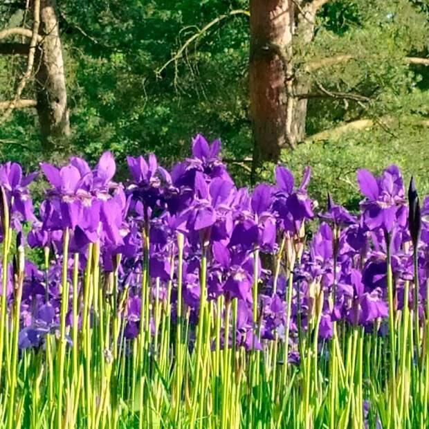 В Японском саду Главного Ботанического сада зацвели ирисы