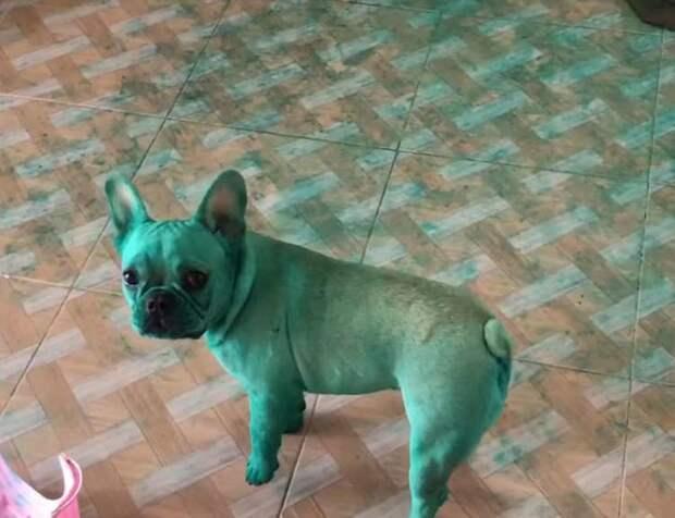 Хозяйка с удивлением обнаружила, что её бульдоги позеленели