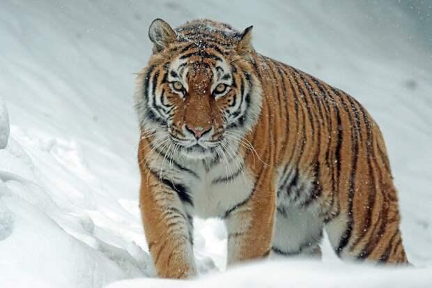 Подозреваемую в людоедстве тигрицу застрелили в Хабаровском крае