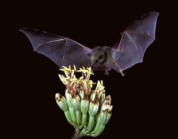 Коварство летучих мышей: хранители смертельных вирусов, которые сами ими не болеют
