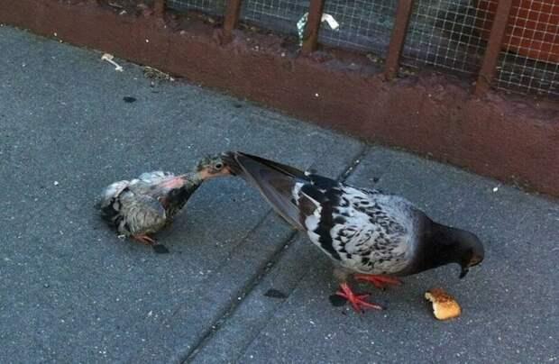Откуда взялись голуби в больших городах по всему миру, и где они прячут птенцов