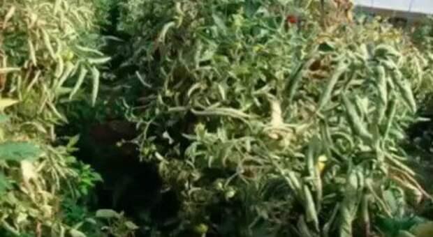Если скручиваются листья томатов