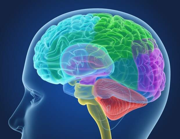 Что управляет нашим мозгом и живет в нем 3 года