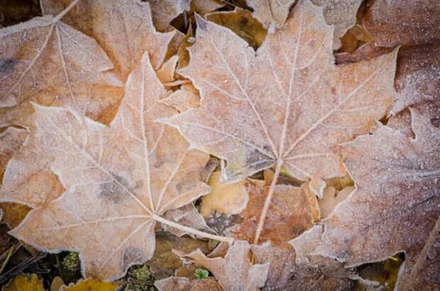 Мульча из кленовых листьев