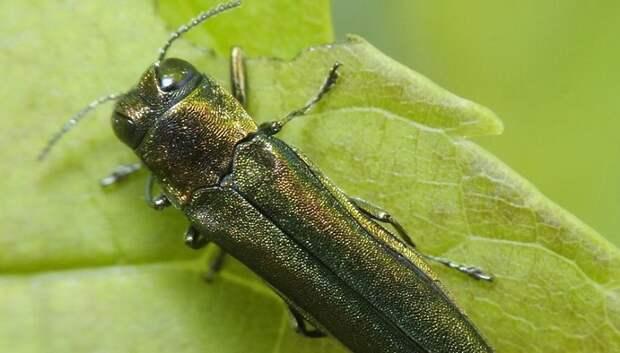 Нового насекомого‑вредителя выявили в Подмосковье