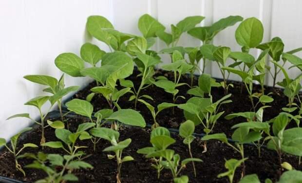 Начало февраля – оптимальное время для посева баклажанов на рассаду! Вот как это делать