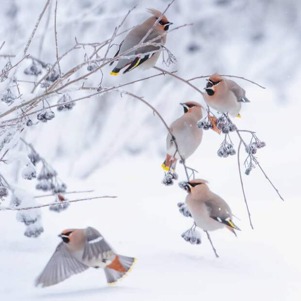 Птицы Финляндии на снимках Юкка Рисикко