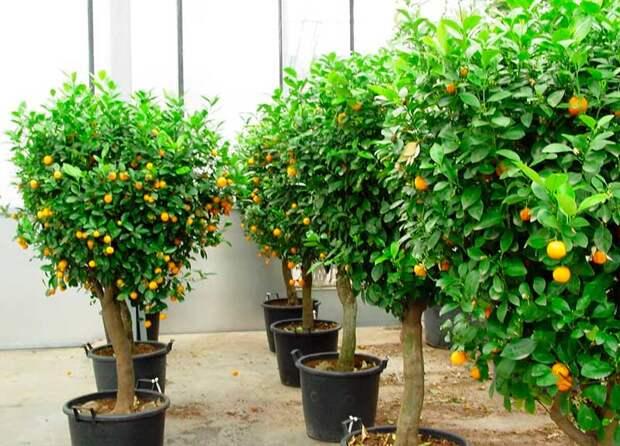 Комнатное растение Кинкан (Fortunella)