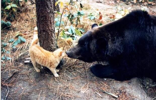 Как медведь гризли подружился с котенком