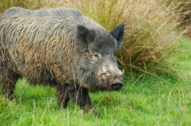 Поросячий восторг: в Италии дикие свиньи разрыли тайник с кокаином