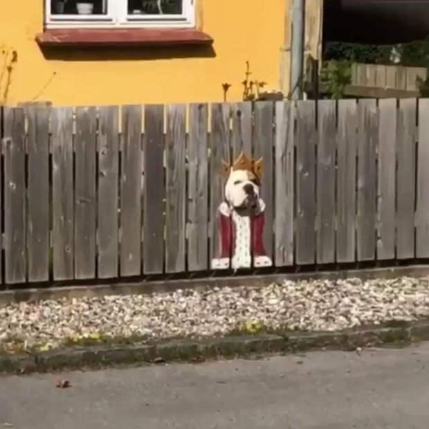 Бульдог, который любит смотреть на улицу через отверстие в заборе
